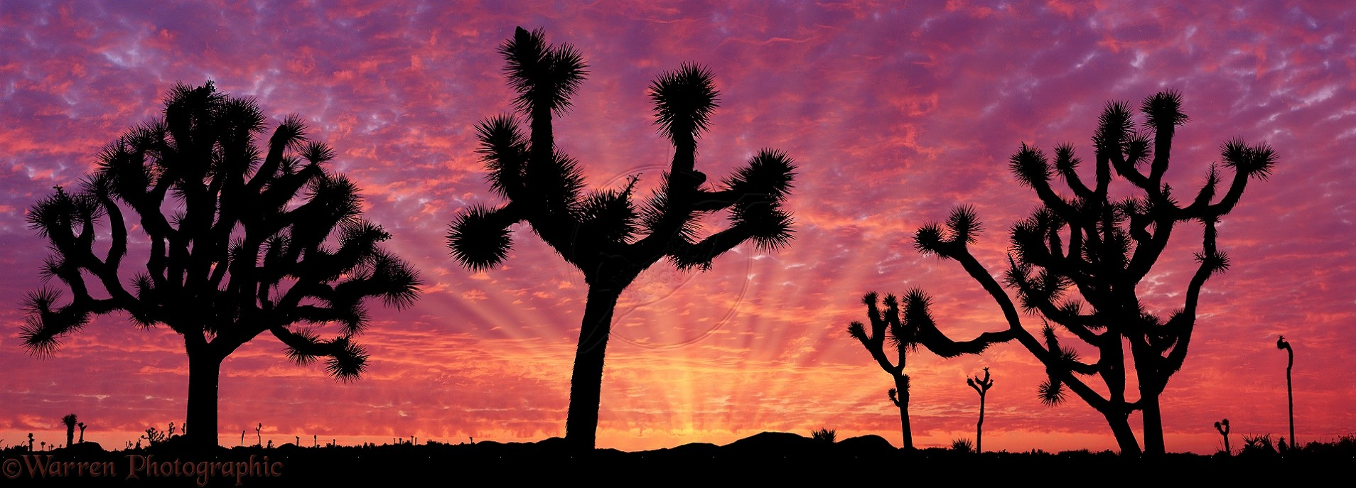 Joshua Trees (Yucca brevifolia) at sunrise. Courtesy of Warren Photographic.