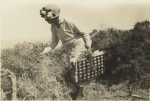 Alice Eastwood collecting plants.