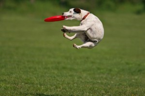 Dog with a Frisbee.