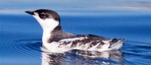 Marbled murrelet.