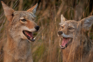Coyotes, image by Matt Knoth.